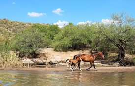pic of colt  - Wild Horse galloping in stream with colt - JPG