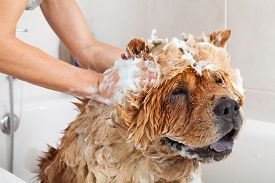 picture of chow-chow  - Bubble Bath a lovely dog chow chow - JPG