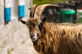 stock photo of goat horns  - Brown and white billy goat with long fur and horns looking at the camera - JPG