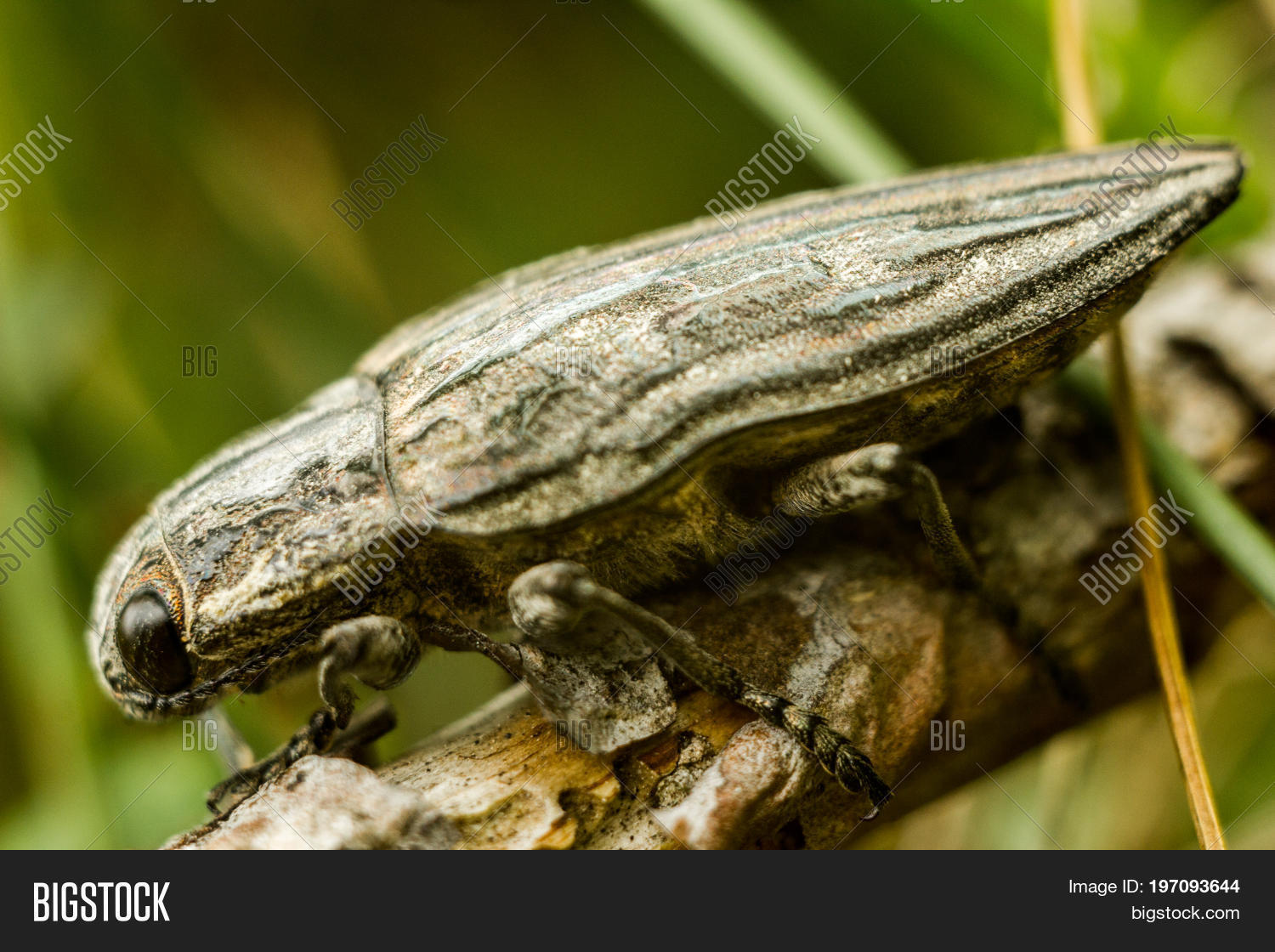 Pine borer chalcophora mariana image photo bigstock the pine borer chalcophora mariana a large gray beetle with a pattern on sciox Images