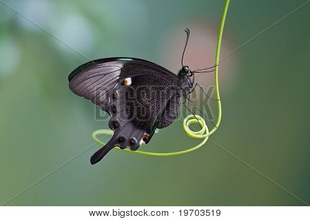 Mariposa, Mariposa Mito