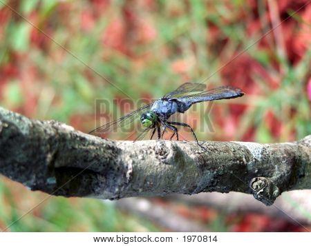 Blue Dragonfly