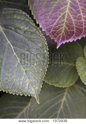 Layered Hydrangea Leaves