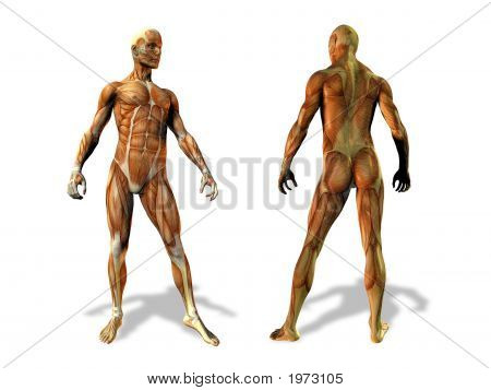 Anatomy, Male Illustration