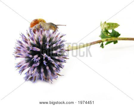 Slug On Blue Flower