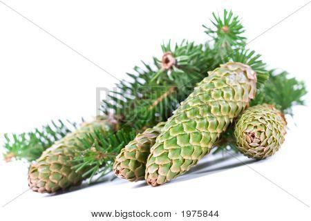Fur-Tree Branch With Cones