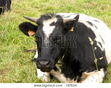 Cow Resting In Grass, Agriculture.