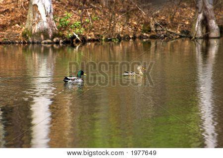 A Pair Of Mallard Ducks A Hen And A Drake