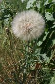 image of pubescent  - Magnificent flower of the spherical form in a green grass - JPG