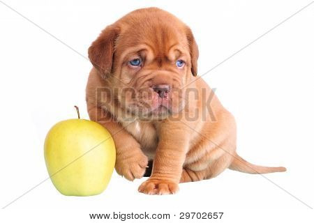 Dogue De Bordeaux puppy with apple showing size, isolated
