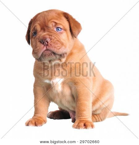 Cute Blue-Eyed Puppy sitting, isolated on white