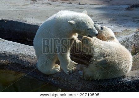 Two polar white bear