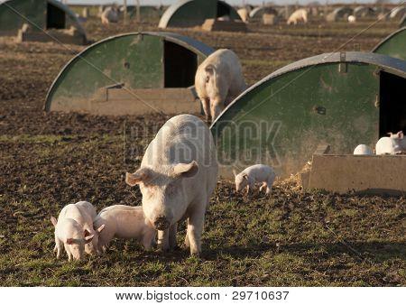 Pig Farming.