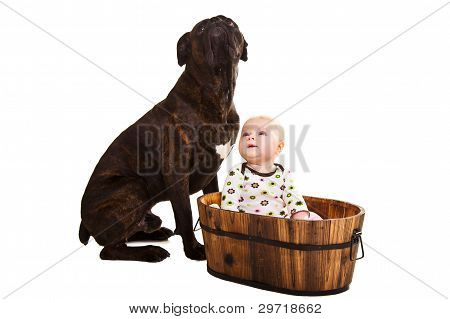 Infant baby girl with big brown boxer dog