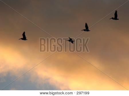 Pelican Dusk