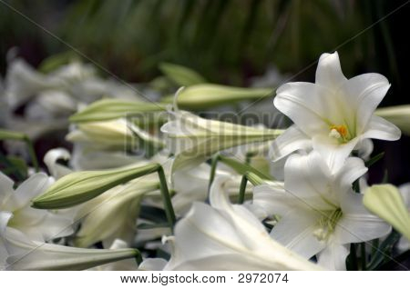 Flowering Lilies 1