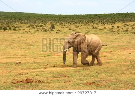 Baby African elephant, South Africa