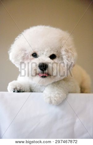 poster of Bichon Frise. Purebred Bichon Frise Dog. Small White dog. 10 lb. female bichon frise dog. Pet Portra