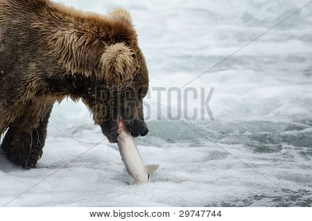 Alaskan Brown Bear Catching Salmon
