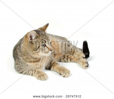 Cute Tabby On White Background