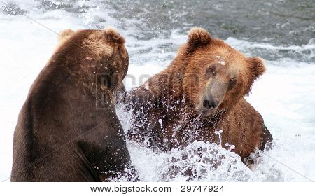 Two Large Alaskan Brown Bears Fighting In The Water