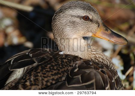 Closeup of Northwest Brown Duck