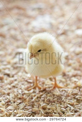 A single chick standing in barnyard