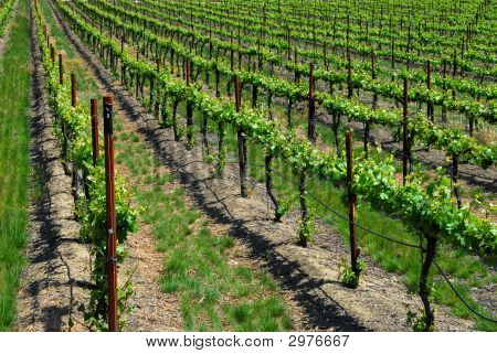 Grape Vines Gilroy California