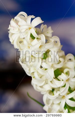 White pearl hyacinth over nature background , close up