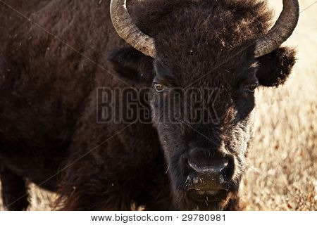 american bison in south dakota usa