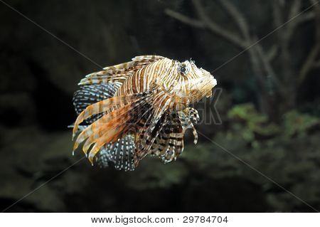 Lion fish on black background