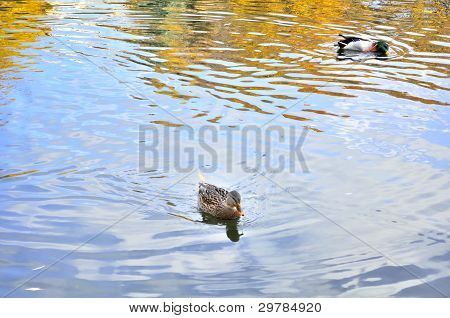 Mallard Duck And Drake Swimming In The Lake