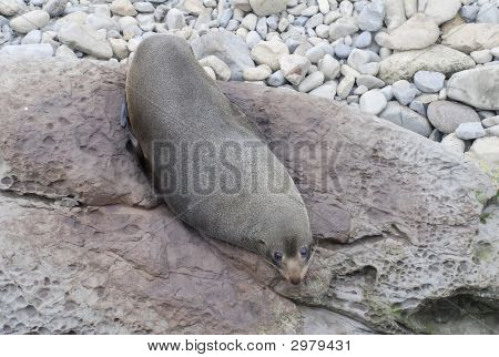 Camouflaged Fur Seal