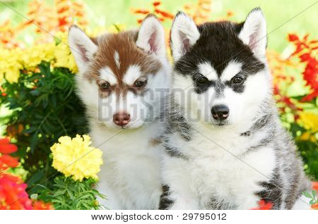 group of Siberian husky puppy dogs one month old on green grass