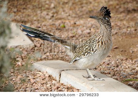 Arizona Roadrunner