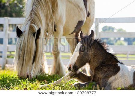Gypsy Vanner horse equine baby