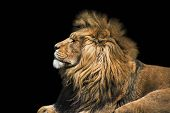 Portrait Lion On The Black. Detail Face Lion. Hight Quality Portrait Lion. Portrait From Animal poster