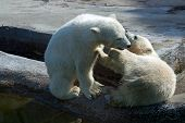 foto of polar bears  - Two polar bear white in game at zoo, Russia.