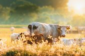 Calves And Cows On The Sunny Pasture poster