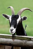 pic of billy goat  - Billy goat or male goat with long beard looking over a wooden fence - JPG