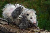 Opossum (didelphimorphia) Carries Joeys Across Log Summer - Captive Animals poster