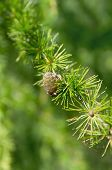 stock photo of fall trees  - Branch of a larch with one cone