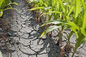 stock photo of drought  - Dry drought stricken farm corn field dirt - JPG
