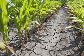 image of drought  - Dry drought stricken farm corn field dirt - JPG