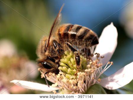 Workwoman Bee