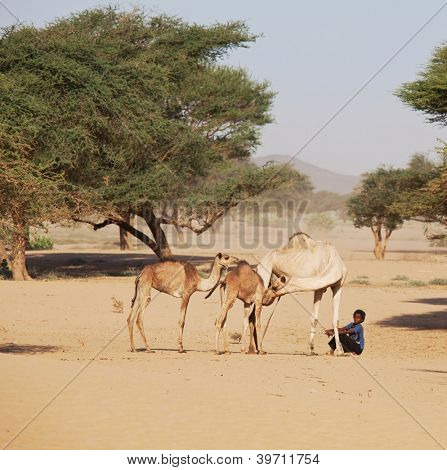 SUDAN - JANUARY 10: Sudanese boy leads camels in rural area near Nubian pyramids on January 10, 2010. Sudan remains one of the least developed countries in the world.