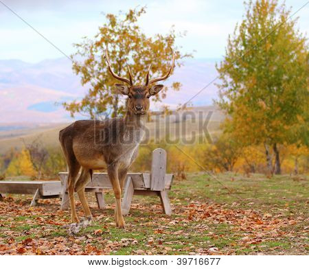 Deer Buck em um enclausuramento