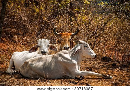Three Cows Relaxing