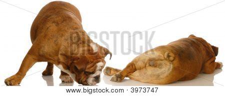 Bulldog Sniffing