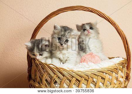 Three Grey Kittens